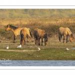 Chevaux Henson au marais du Crotoy en Baie de Somme