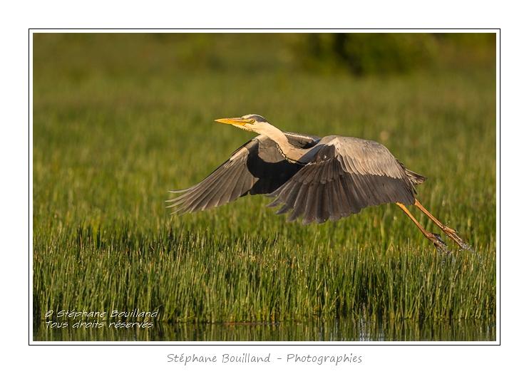 Heron_cendre_25_05_2014_003-border