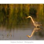 Heron_cendre_17_05_2014_007-border