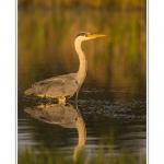 Heron_cendre_17_05_2014_020-border