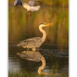 Heron_cendre_17_05_2014_023-border