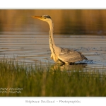 Heron_cendre_17_05_2014_030-border