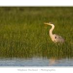 Heron_cendre_25_05_2014_001-border