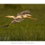 Heron_cendre_25_05_2014_004-border