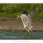 Heron_cendre_05_6_2015_010-BorderMaker