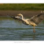 Heron_cendre_05_6_2015_015-BorderMaker