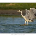 Heron_cendre_05_6_2015_016-BorderMaker