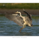 Heron_cendre_05_6_2015_017-BorderMaker