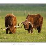 Vache écossaise de race Highland Cattle dans le marais de Blanquetaque. Le conservatoire du littoral utilise ces animaux pour entrenir le marais et éviter qu'il ne se ferme. Saison : Printemps - Lieu : Marais de Blanquetaque, Noyelles-sur-mer, Baie de Somme, Somme, Picardie, France