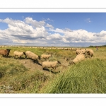 Moutons de prés-salés au Cap Hornu