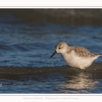 Bécasseaux Sanderling (Calidris alba - Sanderling) sur la plage du hourdel en Baie de Somme. - Saison : Hiver - Lieu : Le Hourdel, Baie de Somme, Somme, Picardie, Hauts-de-France, France. Sanderling (Calidris alba - Sanderling) sandpipers on the hourdel beach in the Somme Bay. - Season: Winter - Location: Le Hourdel, Somme Bay, Somme, Picardie, Hauts-de-France, France