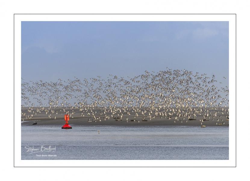 Envol d'huitriers-pies (Haematopus ostralegus - Eurasian Oystercatcher) en baie de Somme