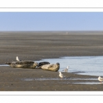 Phoques veau-marins en baie de Somme et promeneurs