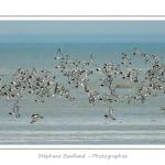 Vol d'huitriers-pie en baie de Somme - Saison : été - Lieu : Réserve naturelle, proximité du parc ornithologique du Marquenterre, Saint-Quentin-en-Tourmont, Baie de Somme, Somme, Picardie, France.