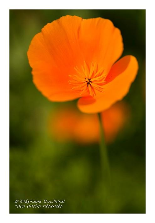 Jach re fleurie photos de la baie de somme et de la c te - Fleur de jachere ...
