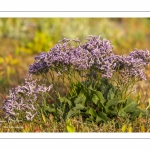 Lilas de mer (statices sauvages)