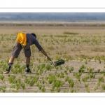 pêcheur à pied en train de cueillir de la salicorne