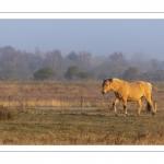 Chevaux Henson au marais du Crotoy (baie de Somme)