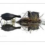 Foulque macroule (Fulica atra - Eurasian Coot) affairé à la construction du nid au printemps