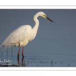 Grande Aigrette (Ardea alba - Great Egret) en plumage nuptial venue pêcher au marais du Crotoy