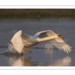Cygne tuberculé (Cygnus olor - Mute Swan) qui défend son territoire et chasse les intrus