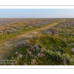 Les mollières couvertes de lilas de mer (statices sauvages) en Baie d'Authie (Fort-Mahon)