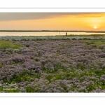 Tapis de lilas de mer dans les mollières du Cap Hornu