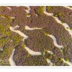Lilas de mer (statices sauvages) près de Noyelles-sur-mer