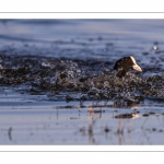 Foulque macroule (Fulica atra - Eurasian Coot)
