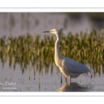Grande Aigrette (Ardea alba - Great Egret), plumage nuptial, en train de pêcher