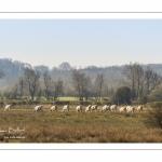 Troupeau de vaches dans les renclôtures