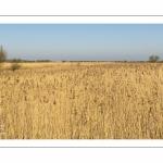 France, Somme (80), Baie de Somme, Noyelles-sur-mer, Prairies et marais de la basse vallée de la Somme entre Port-le-Grand et Noyelles-sur-mer, ZNIEFF 220013892, cette zone humide contient de nombreuses roselières // France, Somme (80), Baie de Somme, Noyelles-sur-mer, Prairies and marshes of the lower Somme valley between Port-le-Grand and Noyelles-sur-mer, ZNIEFF 220013892, this wetland contains many reed beds
