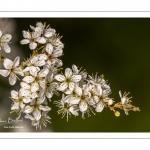 Aubépine, épine blanche en fleurs