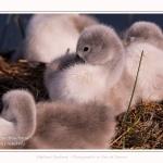 Cygne tuberculé - Cygnus olor - Mute Swan - Saison : Printemps - Lieu : Le Crotoy, Baie de Somme, Somme, Hauts-de-France, France.