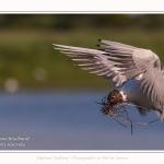 Mouette rieuse - Chroicocephalus ridibundus - Black-headed Gull - Saison : Printemps - Lieu : Le Crotoy, Baie de Somme, Somme, Hauts-de-France, France.