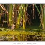 Marouette ponctuée (Porzana porzana - Spotted Crake) - Rare et difficile à observer, la marouette ponctuée est ici observée à découvert, alors que cet oiseau très farouche se réfugie habituellement dans les roseaux à la moindre alerte. Saison : été - Lieu : Marais du Crotoy, Le Crotoy, Baie de Somme, Somme, Picardie, France