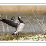 Bernache nonnette (Branta leucopsis - Barnacle Goose)