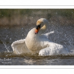 Cygne tuberculé (Cygnus olor - Mute Swan) au bain (toilette)