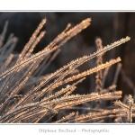 Un matin d'hiver dans les patures couvertes de givre, le long de la Maye. Saison : Hiver - Lieu : Machy, Vallée de la Maye, Somme, Picardie, France