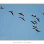 Oie cendrée (Anser anser - Greylag Goose) - Passage pendant le migration de printemps - Saison : hiver - Lieu : Plages de la Maye, Le Crotoy, Baie de Somme, Somme, Picardie, France