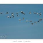 Groupe de spatules longeant la côte en période de migration. Saison : hiver - Lieu : Le Hâble d\'Ault, Cayeux-sur-mer, Baie de Somme, Somme, Picardie, France