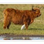 Vache écossaise Highland Cattle et héron Garde-Boeuf