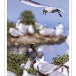 Mouette rieuse (Chroicocephalus ridibundus - Black-headed Gull)