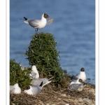 Nidification de la colonie de mouettes rieuses (Chroicocephalus ridibundus - Black-headed Gull) au marais du Crotoy (Baie de Somme)
