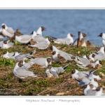 Mouette rieuse ( Chroicocephalus ridibundus,  Black-headed Gull) - Saison : Printemps - Lieu : Marais du Crotoy, Le Crotoy, Baie de Somme, Somme, Picardie, France