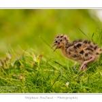 Poussin de mouette rieuse dans l'herbe - Saison : Printemps - Lieu : Marais du Crotoy, Le Crotoy, Baie de Somme, Somme, Picardie, France