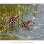 Premiers bains dans l'étang pour les poussins de mouette rieuse  - Saison : Printemps - Lieu : Marais du Crotoy, Le Crotoy, Baie de Somme, Somme, Picardie, France