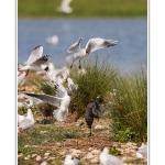 Ces foulques ont établi leur nid au milieu de la colonie de mouette et doivent régulièrement batailler avec elles. Saison : Printemps - Lieu : Marais du Crotoy, Le Crotoy, Baie de Somme, Somme, Picardie, France