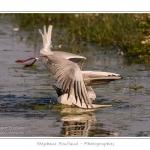 Mouette rieuse (Chroicocephalus ridibundus - Black-headed GullSaison) - Plumage nuptial  : Printemps - Lieu : Le Crotoy, Baie de Somme, Somme, Picardie, France