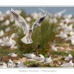Mouette rieuse transportant des débris végétaux pour construire le nid - Saison : Printemps - Lieu : Marais du Crotoy, Le Crotoy, Baie de Somme, Somme, Picardie, France